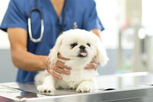 Вакцинация щенков пекинеса — когда и как правильно делают первые прививки