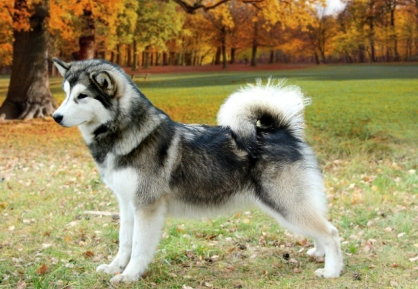 Домашний косолапый: 6 пород собак, которые похожи на медвежонка