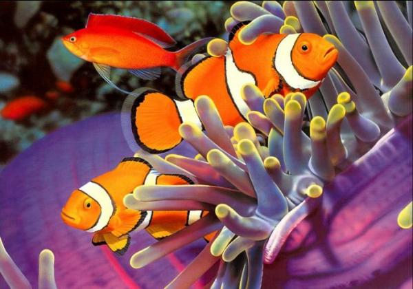Рыба-клоун: яркая коралловая рыбка