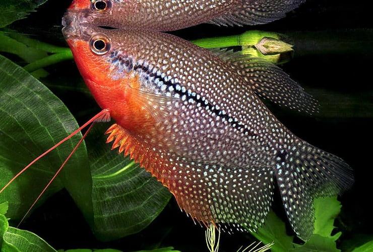 Домашний жемчужный гурами: уход, содержание и особенности разведения домашних рыбок