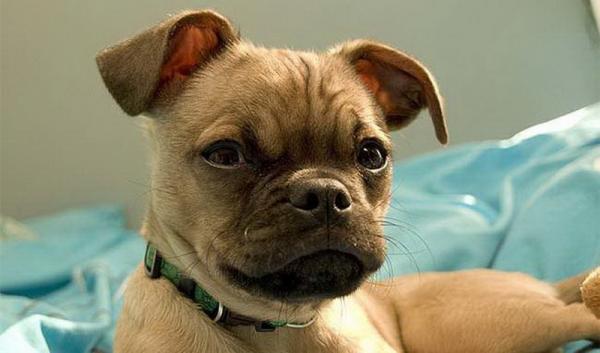 Все на одно лицо: 6 пород собак, которых можно принять за мопса