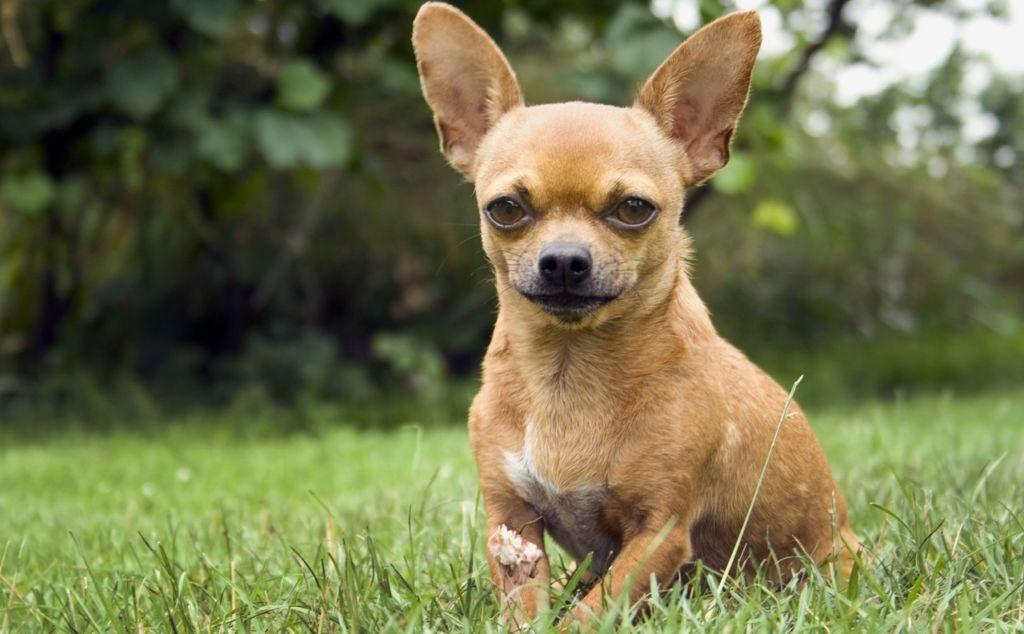 6 причин, почему собака хрюкает: кашляет, как будто хрюкает, задыхается