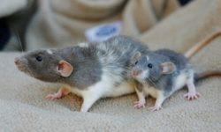 Сколько длится беременность у крыс, как понять что грызун вынашивает потомство