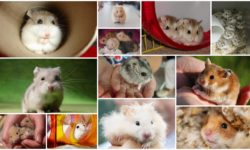 Все породы и виды хомяков с фотографиями и названиями