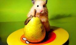Можно ли хомякам грушу (сирийским, джунгарским и другим породам)