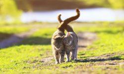 Сколько дней гуляют коты и как часто