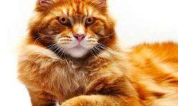 Мейн-кун 🐈 фото кошки, история, описание, характер, уход, кормление породы, как назвать, размер и вес