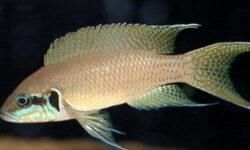 Принцесса Бурунди (рыбка цихлида): содержание, совместимость, фото, параметры воды, кормление, размножение