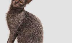 Ликой 🐈 фото, история и описание породы, характер, цена кошки оборотня