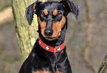 Немецкий пинчер: все о собаке, фото, описание породы, характер, цена