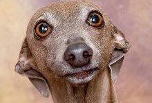Левретка: все о собаке, фото, описание породы, характер, цена