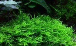 Мох рождественский (кристмас, Christmas moss, montagnei): содержание в аквариуме, уход, особенности, размножение