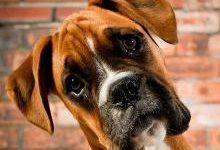 Немецкий боксер — описание породы собаки от А до Я