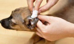 Как чистить уши собаке: правила, средства для ухода, советы ветеринаров