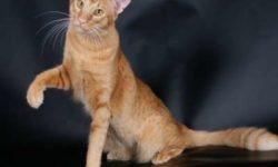 Яванская кошка 🐈 фото, история и описание породы, характер, уход