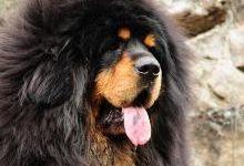Тибетский мастиф: все о собаке, фото, описание породы, характер, цена