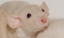 Порфирин у крыс: почему идет кровь из носа и глаз