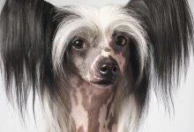 Китайская хохлатая собака: все о собаке, фото, описание породы, характер, цена