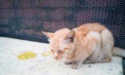 Гнойные выделения у кошки