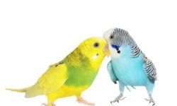 Основные болезни волнистых попугаев, их симптомы и лечение