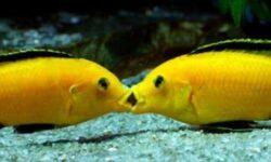 Лабидохромис еллоу (желтая цихлида с черными полосками, аквариумная рыбка колибри, labidochromis caeruleus yellow): содержание, совместимость с другими рыбками, размножение (разведение), как отличить самца от самки, мальки, нерест, фото, видео