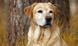 Чем кормить Лабрадора щенка и взрослую собаку: корма, меню, что нельзя давать