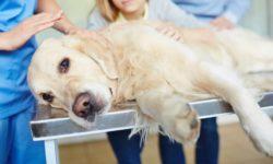 Пиелонефрит у собак: симптомы и лечение