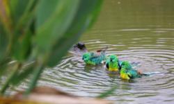 Купание попугая | Как, когда и в какой воде купаться попугайчику