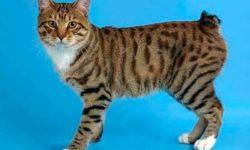 Мэнкс 🐈 фото кошки, история и описание породы, характер, уход и стандарт
