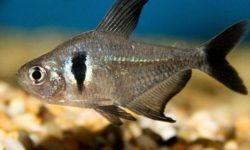 Рыбки Орнатусы: содержание и уход в аквариуме, а также разведение