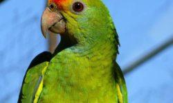 Аллергия на попугая: почему возникает, как проявляется