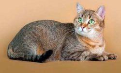 Европейская короткошерстная кошка 🐈 фото, описание породы, характер, уход, стандарты