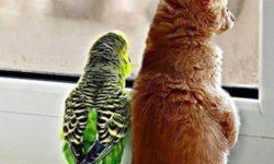Как уживаются попугаи с кошками в одном доме