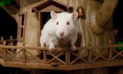Домик для крысы: выбор, предназначение и создание своими руками