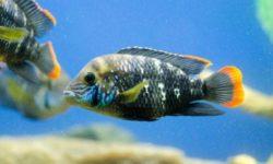 Акара бирюзовая: содержание и уход, а также описание болезней и правил разведения рыбки