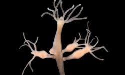 Гидра пресноводная: внешний вид, способ дыхания, размножение и местообитание