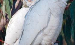 Распространенные болезни попугаев корелла