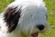 Бобтейл (староанглийская овчарка) – фото и описание породы собаки