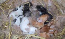 Как крольчиха кормит крольчат: сколько раз в сутки, сколько дней: советы опытных кролиководов. Когда можно отсаживать? Сколько крольчат способна вскормить крольчиха. Как вообще определить сыты ли кролики, как еще можно заменить молоко крольчихи.
