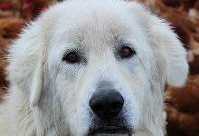 Маремма-абруццкая овчарка: все о собаке, фото, описание породы, характер, цена