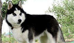 Клички для хаски мальчика и девочки: имена для собак кобелей и сучек (красивые и со значением) и идеи, как назвать щенков сибирской породы
