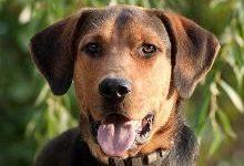 Русская гончая: все о собаке, фото, описание породы, характер, цена