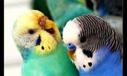 Как правильно успокоить волнистого попугая когда он кричит