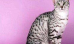 Аравийский мау 🐈 фото кошки, история и описание породы, характер, уход