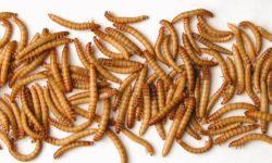 Мучные черви: характеристики и разведение в домашних условиях