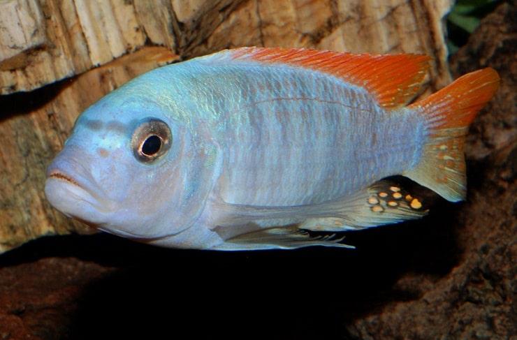 Какое сердце у рыб: строение, кровь и система кровообращения