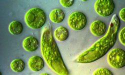 Эвглена зеленая (euglena): строение и среда обитания, образ жизни и способ размножения
