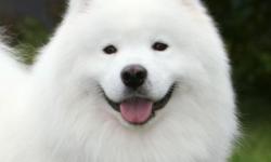 Самоедская собака — описание породы от А до Я