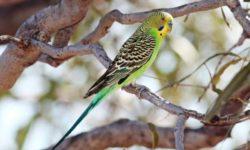 Правильное кормление волнистого попугая | Что лучше давать, в каких пропорциях, какой водой поить
