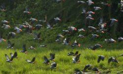 Сколько видов попугаев встречается в мире